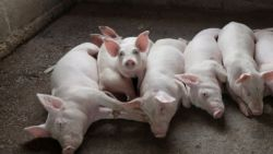 Чумата по свинете стигна до Русенско