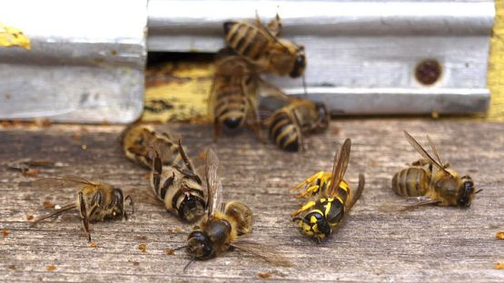 Масов мор на пчели в Русенско